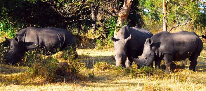 11 days uganda safari - rhinos uganda