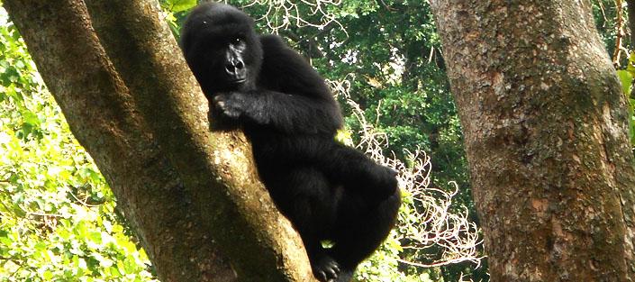 2 Days gorilla tracking Congo safari