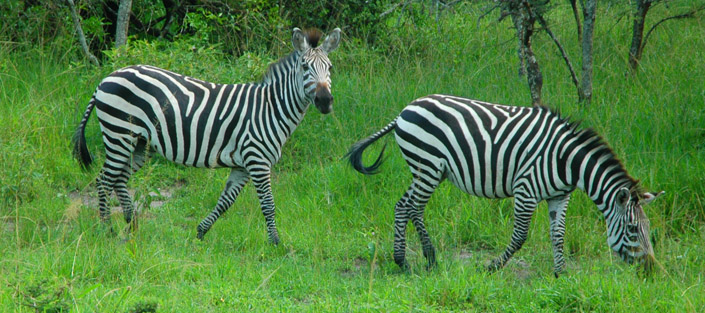 2 days lake mburo national park tour takes you to Lake Mburo National Park to see different wildlife species