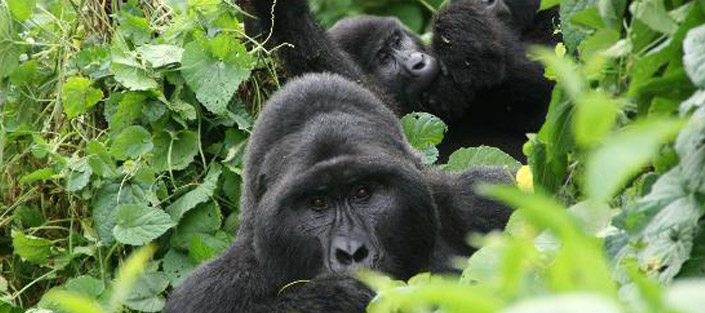 3 days gorilla trekking bwindi package / gorilla tracking Uganda