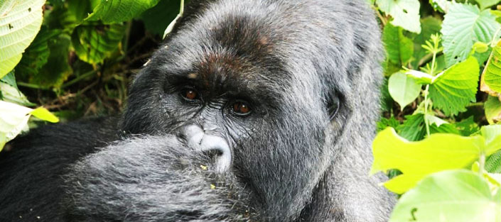 3 days gorilla traking Kigali bwindi package