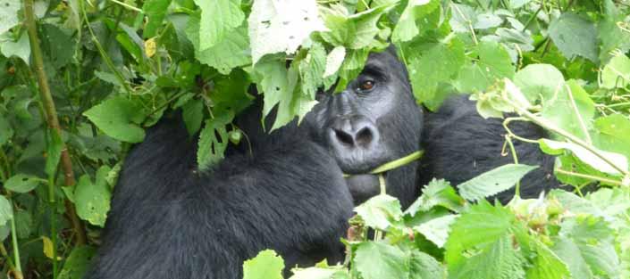 3 Days gorilla tracking Rwanda - Gorillas Rwanda