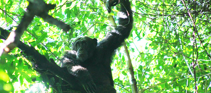 Chimpanzee tracking - Kibale National Park