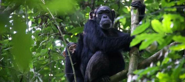 8 Days Uganda safari - chimpanzee and wildlife tour