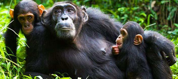 8 Days Uganda tour, primates and wildlife safari