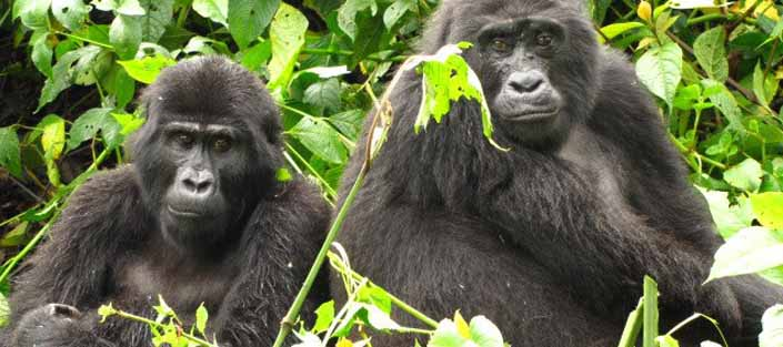 6 days wildlife safari and Gorilla tracking Uganda