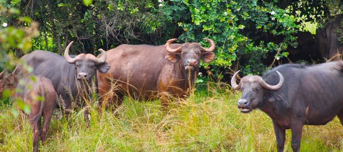 Buffaloes in Uganda