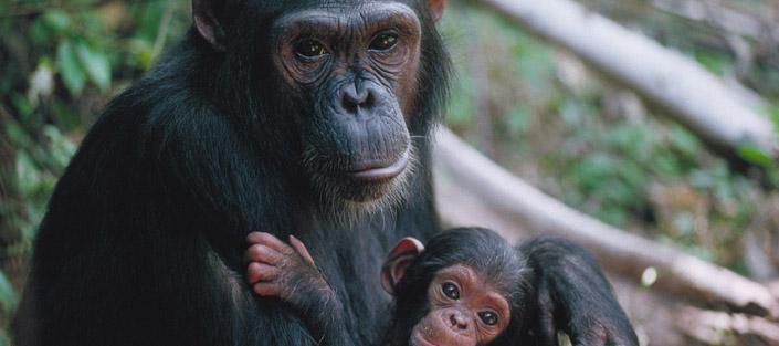 1 day Ngamba Island Chimp tour - Ngamba Island Chimpanzees Sanctuary