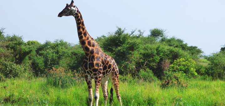 Giraffes in Kidepo Valley National Park