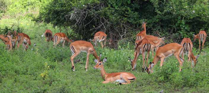 Impalas at Lake Mburo National Park