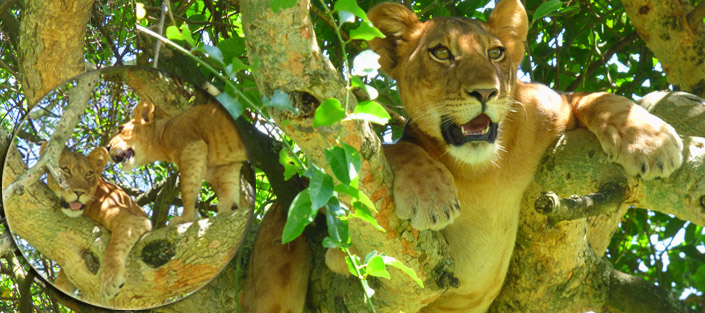 2 Days Tree Climbing Lions' Tour