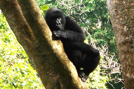 2 days gorilla tracking Congo